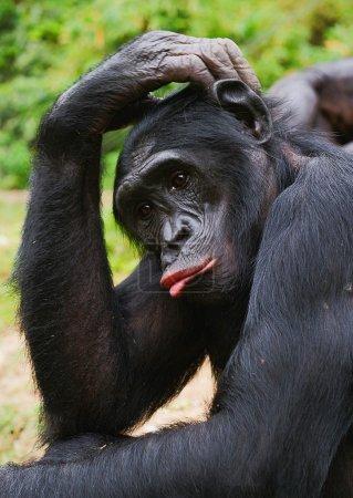 Photo pour Portrait de triste chimpanzé bonobo (pan paniscus). à une courte distance, se bouchent. le bonobo (pan paniscus), anciennement appelé le chimpanzé pygmée - image libre de droit