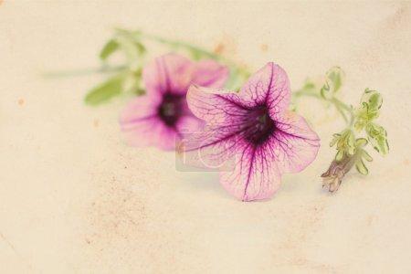 Photo pour Joli fond floral vintage avec des fleurs roses de surfinia - image libre de droit
