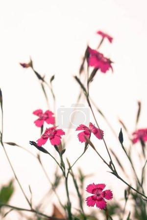 Mossy saxifrage fireworks, rockery plants