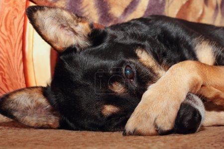 Photo pour Berger allemand chien couvrant son nez avec sa patte - image libre de droit