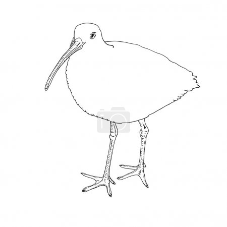 Eurasian Curlew, bird. Vector illustration.