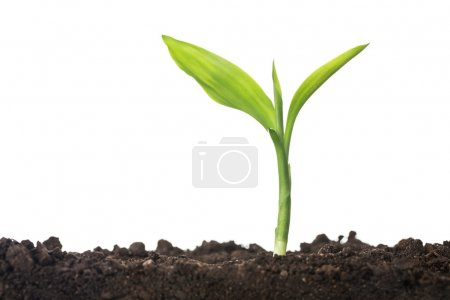 Photo for Close up of small plant growing up from soil isolated on white background with copy space - Royalty Free Image