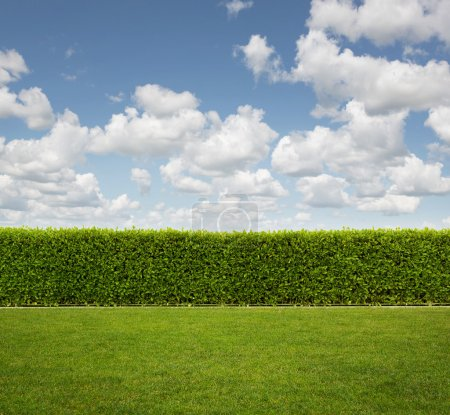 Back Yard, close up of hedge fence on the grass with copy space