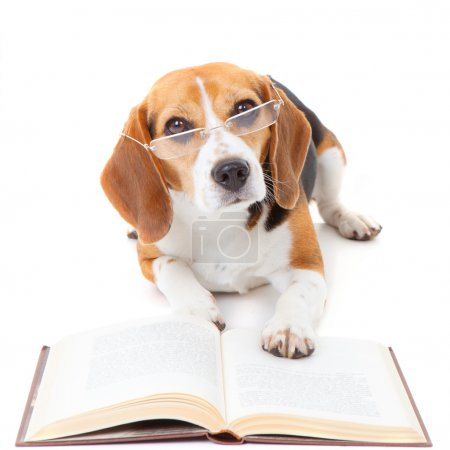 Photo for Beagle dog wearing glasses reading book - Royalty Free Image