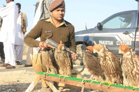 Custom officials make free falcons that seized during smuggling from Pakistan to UAE