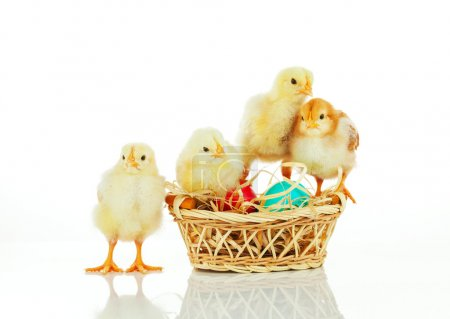 Basket with the Easter eggs and small chickens