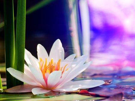 Photo pour Fleur de lotus - image libre de droit