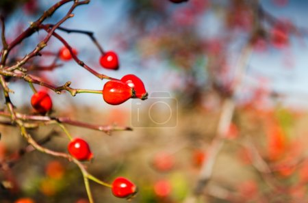 Rose hip and blue sky