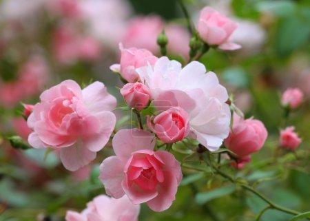 Foto de Rosas en el jardín - Imagen libre de derechos