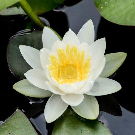 white water lily or lotus