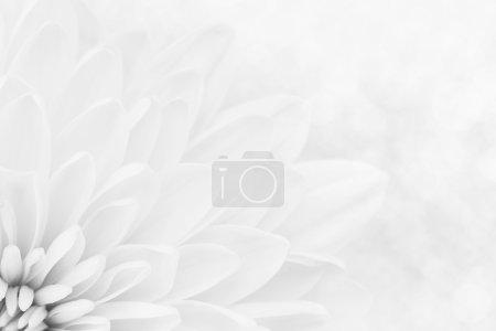 Foto de Macro de pétalos de crisantemo blanco disparó - Imagen libre de derechos