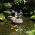 Japanese variegated carps swimming in garden pond...