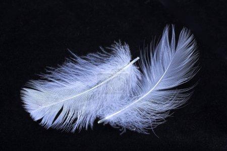 Photo pour Gros plan d'une plume bleue sur fond noir - image libre de droit