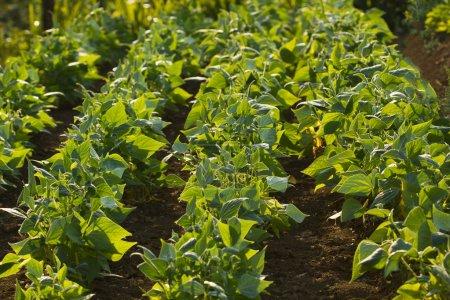 Feld grüner Bohnen