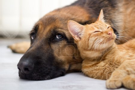 Photo for Close up, cat and dog together lying on the floor - Royalty Free Image