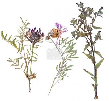 Foto de Conjunto de flores silvestres presionado, aislado - Imagen libre de derechos