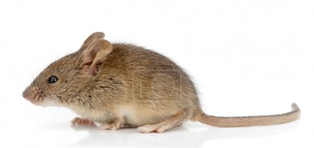 Side view of house mouse (Mus musculus)