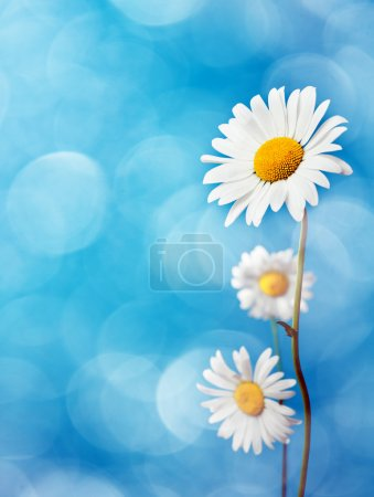 Photo for Daisy flowers on blue background. - Royalty Free Image