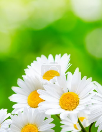 Daisy flowers on green background