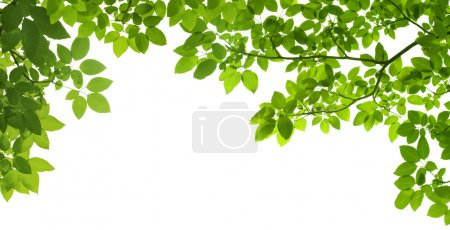 Photo for Panoramic Green leaves on white background - Royalty Free Image