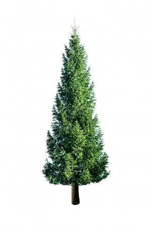 Photo for Green fir isolated on white - Royalty Free Image