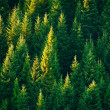 Fir tree forest in morning time...