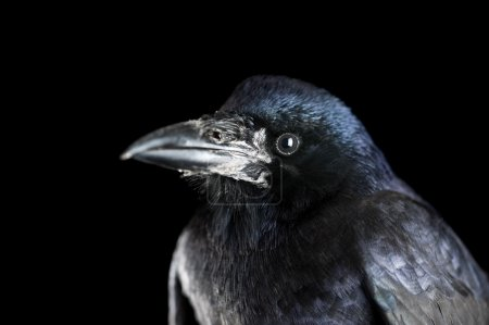Photo for Black crow portrait close up - Royalty Free Image