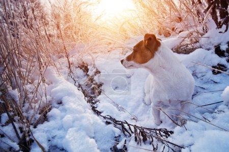 Photo pour Jack Russel dans la neige gros plan - image libre de droit