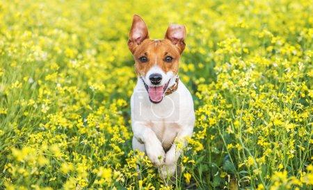 Photo pour Jack russel sur le pré de fleurs - image libre de droit