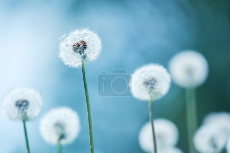 Photo for Dandelions on blue background closeup - Royalty Free Image