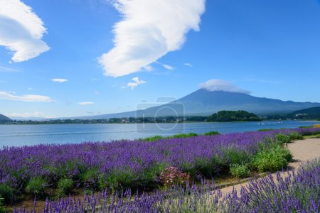 Mt. Fuji and Lavender at Lakeside of Kawaguchi