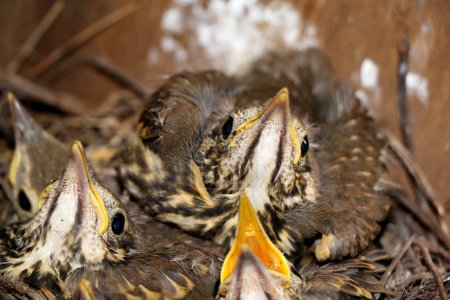Little baby birds sitting in the nest, close-up photography of n
