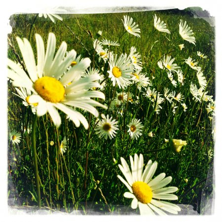 Daisies growing wild in a field