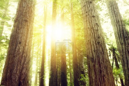 Photo for Sunlight in redwood trees forest - Royalty Free Image