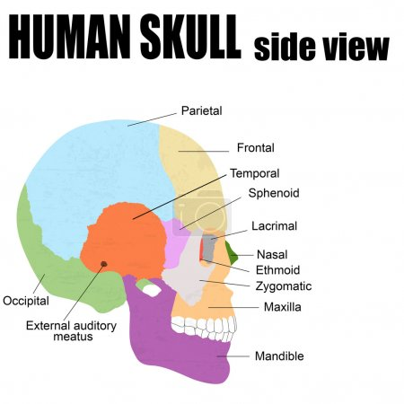 Illustration for Side view of Human Skull, vector illustration (for basic medical education, for clinics & Schools) - Royalty Free Image