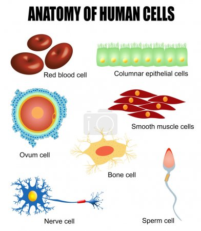 Anatomy of human cells