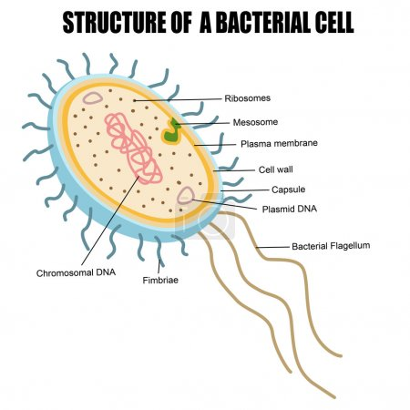 Illustration for Structure of a bacterial cell, vector illustration (for basic medical education, for clinics & Schools) - Royalty Free Image