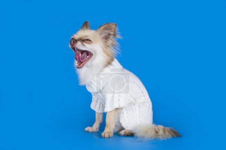 Chihuahua in a white sweater on a blue background