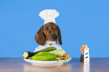 dachshund dressed as a cook on a blue background isolated