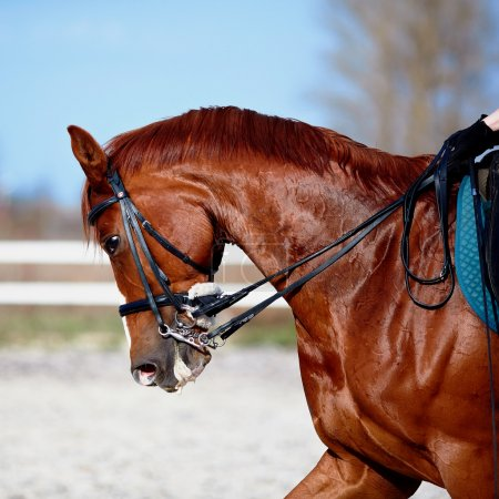 Photo pour Un étalon brun. Portrait d'un cheval rouge sportif. Monter à cheval. Cheval pur-sang. Beau cheval . - image libre de droit