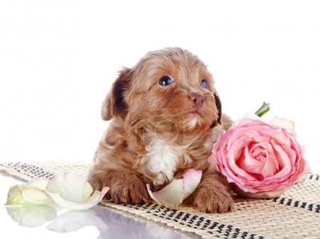 Puppy with a pink rose on a rug.