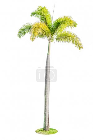 foxtail palm tree isolated on white