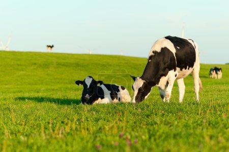 vaches Holstein paissent