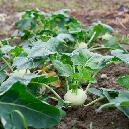 Growing kohlrabi plants