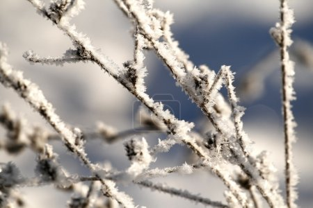 Photo for Close up of dry grass under snow - Royalty Free Image
