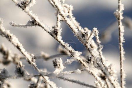Photo pour Gros plan d'herbe sèche sous la neige - image libre de droit