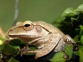 Rosnička obojživelník treefrog