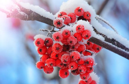 Frost-covered berries