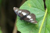 Motýl - bigodi mokřady - uganda, Afrika