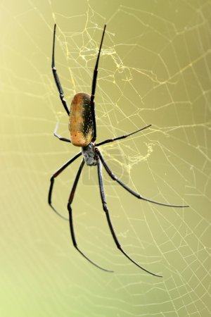 Nephila Spider - Wildlife in Uganda, Africa...